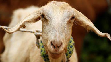 Photo of Una cabra pronostica qué selección ganará el Mundial de Rusia 2018