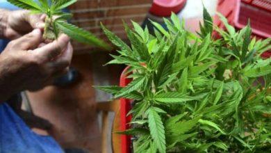 Photo of El sacrificio de una madre cultivando marihuana por la vida de su hijo