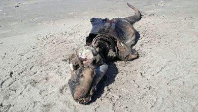 Photo of La misteriosa criatura que apareció en una playa de Reino Unido y desconcierta a los científicos