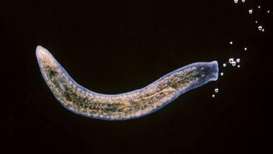 Photo of «Elixir de la vida»: Aíslan a una célula capaz de regenerar todo el cuerpo