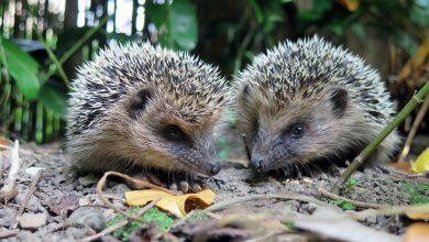 Photo of Dos erizos encuentran un licor de huevo y se emborrachan hasta perder el control
