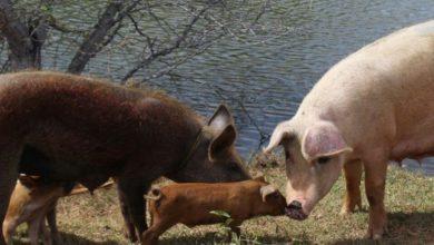 Photo of Extraña enfermedad mata cerdos en Dajabón