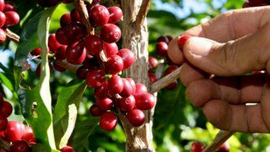 Photo of Productores de café dominicanos han perdido más de RD$18,000 MM en últimos 5 años