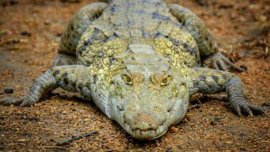 Photo of El cocodrilo estaba débil y con «alto estado de estrés»