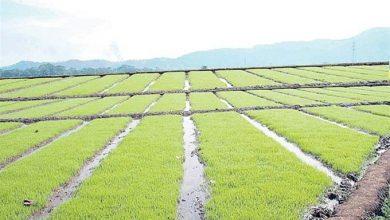 Photo of Ministro de Agricultura autoriza siembra de arroz en Dajabón y Valverde por aumento de lluvias.