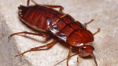 """Photo of Estudio advierte que las cucarachas se están volviendo """"imposibles de matar"""" con insecticidas."""