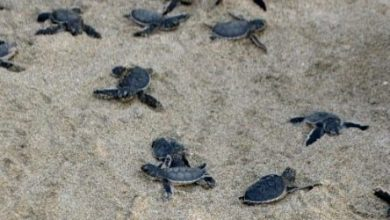 Photo of Liberan especies de tortugas en SDE.