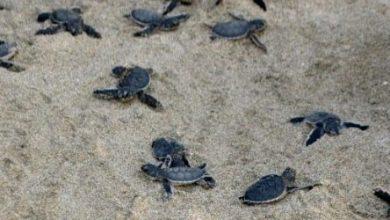 Photo of Liberan especies de tortugas en SDE.