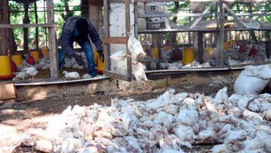Photo of Preocupa muerte de cientos de pollos.