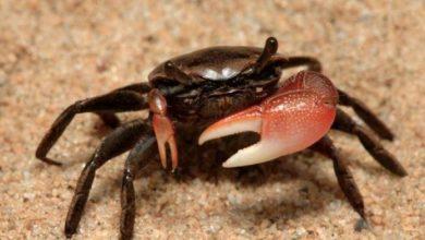 Photo of Gobierno anuncia prohibición de capturas y comercialización de cangrejo y langostas.