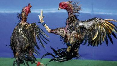 Photo of Detienen 25 jugadores de gallos por violación de medidas contra el coronavirus.
