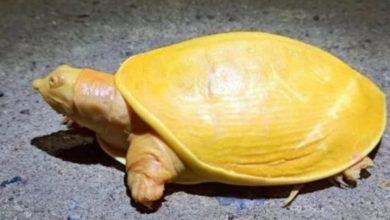 Photo of Hallan una rara tortuga amarilla en la India.