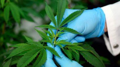 Photo of Fumar marihuana daña el corazón, según un estudio.