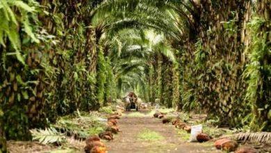 Photo of El aceite de coco destruye el virus de covid-19, según científicos filipinos.
